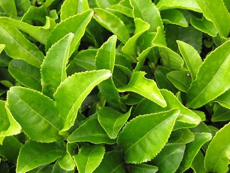 les bienfaits du thé vert bio sont innombrables