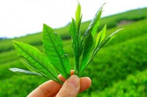 Le thé vert, un brûleur de graisse naturel