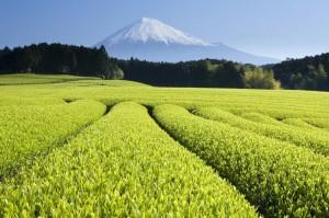 Le thé vert cultivé biologiquement est le thé le plus riches en antioxydants naturels puissants