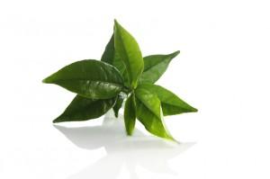La feuille de thé vert bio